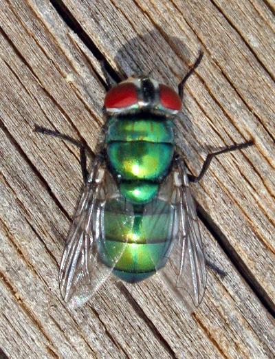 Chrysomya albiceps B-II (hembra)
